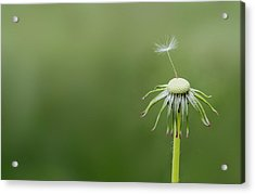 Acrylic Print featuring the photograph One Dandy by Bess Hamiti
