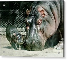 One Day Old Baby Hippo And Mom Acrylic Print