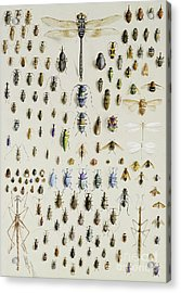 One Hundred And Fifty Insects, Dominated At The Top By A Large Dragonfly Acrylic Print