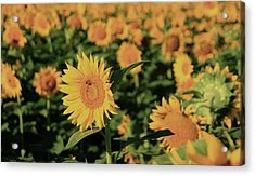 Acrylic Print featuring the photograph One In A Million Sunflowers by Chris Berry