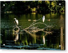 Acrylic Print featuring the photograph One Legged Egrets by Onyonet  Photo Studios