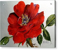 One Lone Wild Rose Acrylic Print by Carol Grimes
