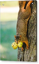 One Nut Is Never Enough Acrylic Print