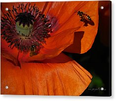 One Poppy And A  Bee Acrylic Print