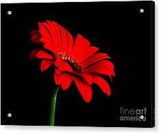 One Red Daisy Acrylic Print by Marsha Heiken
