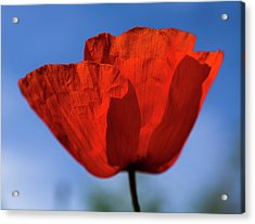 One Red Poppy Acrylic Print