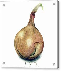 Onion Watercolor Acrylic Print