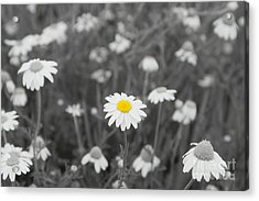 Acrylic Print featuring the photograph Oopsy Daisy by Benanne Stiens