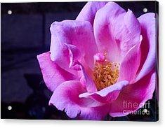 Open Rose Acrylic Print