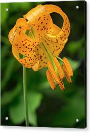 Acrylic Print featuring the photograph Open Tiger Lily by Jean Noren