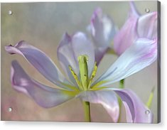 Acrylic Print featuring the photograph Open Tulip by Ann Bridges
