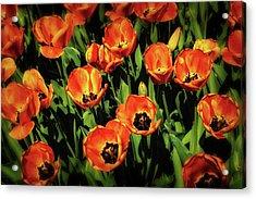 Open Wide - Tulips On Display Acrylic Print by Tom Mc Nemar