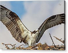 Acrylic Print featuring the photograph Open Wings by Robert Pilkington