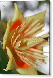 Opening Acrylic Print by Dawn M Brewer