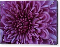 Acrylic Print featuring the photograph Purple Mum by Glenn Gordon