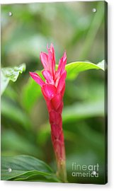 Opening Red Ginger Flower Bud Acrylic Print by Charmian Vistaunet