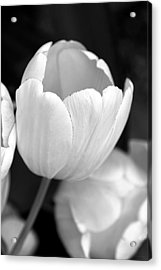 Opening Tulip Flower Black And White Acrylic Print