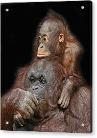Orang-utan Mother And Baby Acrylic Print by Larry Linton