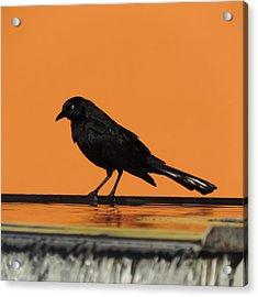 Orange And Black Bird Acrylic Print