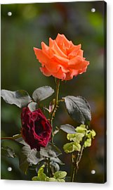 Orange And Black Rose Acrylic Print