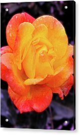 Orange And Violet Rose Acrylic Print