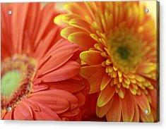 Orange And Yellow Daisies Acrylic Print