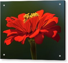 Acrylic Print featuring the photograph Orange Aster-a Bee's Eye View by Onyonet  Photo Studios