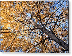 Orange Autumn Tree. Acrylic Print