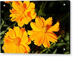 Acrylic Print featuring the photograph Cosmos Trio by Sheila Brown