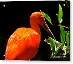 Orange Beauty Acrylic Print
