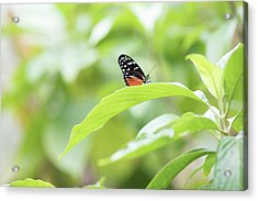 Acrylic Print featuring the photograph Orange Black Butterfly by Raphael Lopez