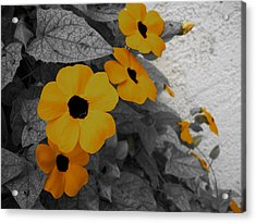 Orange Black Eyed Susan Acrylic Print by Flower Bomb