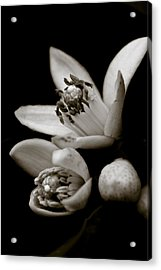 Orange Blossoms Acrylic Print by Frank Tschakert
