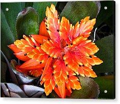 Orange Bromeliad Acrylic Print by Jonathan Hansen