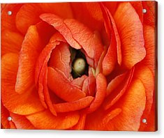 Orange Buttercup Abstract Acrylic Print