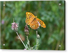 Orange Butterfly Acrylic Print by Pierre Leclerc Photography