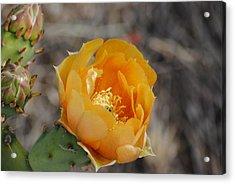 Orange Cactus Flower Acrylic Print by Jon Rossiter