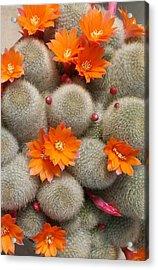 Orange Cactus Flowers Acrylic Print by Mark Barclay