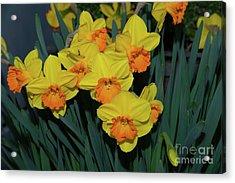 Orange-centered Daffodils Acrylic Print