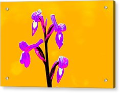 Orange Champagne Orchid Acrylic Print by Richard Patmore