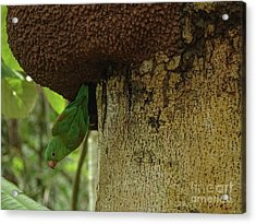 Orange -chinned Parakeet  On A Termite Mound Acrylic Print