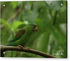 Orange-chinned Parakeet  Acrylic Print