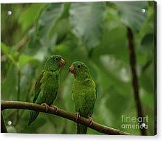 Orange-chinned Parakeets-  Acrylic Print