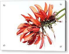 Acrylic Print featuring the photograph Orange Clover I by Stephen Mitchell