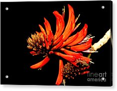 Acrylic Print featuring the photograph Orange Clover II by Stephen Mitchell