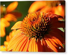 Orange Coneflower At First Light Acrylic Print