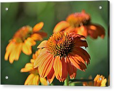 Orange Cone Flowers In Morning Light Acrylic Print