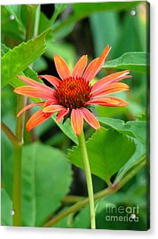 Orange Coneflower Acrylic Print