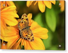 Acrylic Print featuring the photograph Orange Crescent Butterfly by Christina Rollo