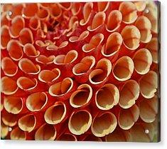 Orange Dahlia Crush Acrylic Print